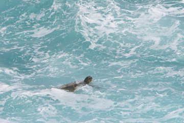 Turtle in the waves
