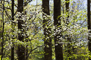 Dogwood in Great Smoky Mountains National Park, Tennessee
