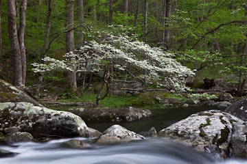 Dogwood along the Middle Prong Little River, Great Smoky Mountains National Park, Tennessee