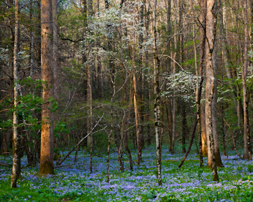 Dogwoods and blue phlox in White Oak Sink, Great Smoky Mountains National Park, Tennessee