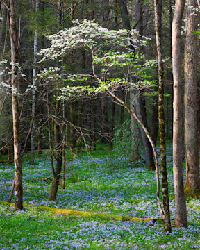 Dogwood and blue phlox in White Oak Sink, Great Smoky Mountains National Park, Tennessee