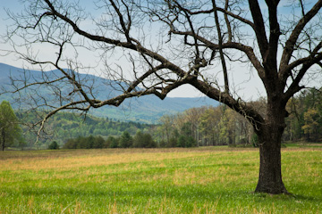 Lone tree in Cades Cove, Great Smoky Mountains National Park, Tennessee