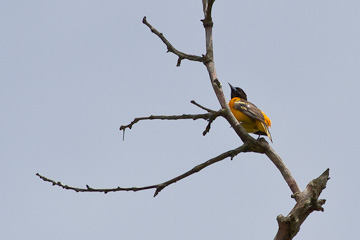 Baltimore oriole, at Riverbend Park, Virginia
