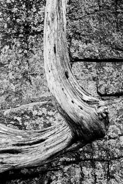 Black and White twisted tree trunk from Acadia National Park, Maine