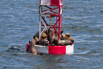 Sea Lions in the harbor near Sitka