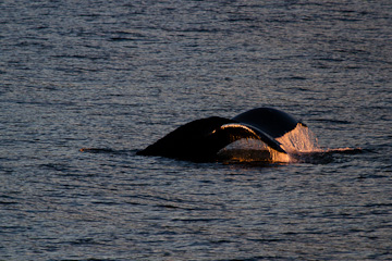 Humpback Whale at sunset