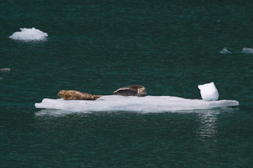 Our first look at Harbor Seals in Tracy Arm