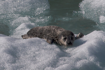 A Harbor Seal pup
