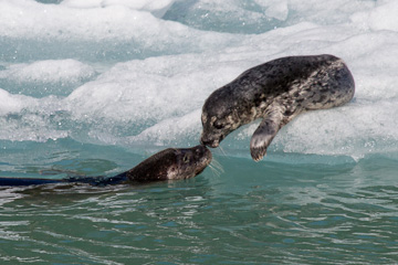 A Harbor Seal greets her pup