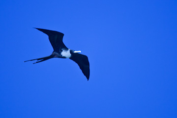 Magnificant Frigatebird in the Dry Tortugas