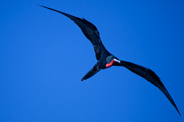 Male Magnificant Frigatebird in the Dry Tortugas
