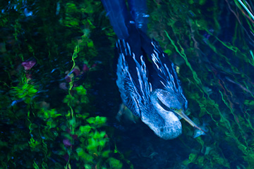 Anhinga, underwater, with a fish
