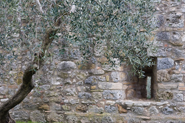 Olive tree and stone wall