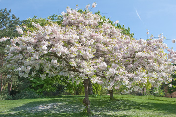 Flowering tree in Hyde Park