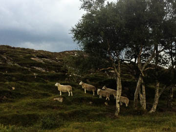 Shieldaig sheep, Scotland
