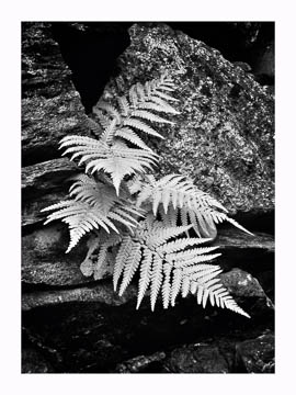 Fern in rocks